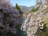 Sakura2019_2
