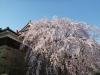 Sakura2019_3